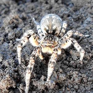 tarantula ro taste