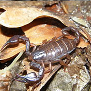 taste scorpion ro